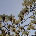 コブシ 咲く