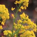 写真: 菜の花 揺れる