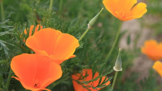ひなげしの花♪
