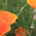 写真: ひなげしの花♪