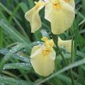 Photos: 雨に咲く花