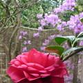 Photos: 椿「サツマ紅」(自宅の花)