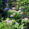 柔らかな朝の日差しを浴びながら梅雨も中休み(自宅の花)