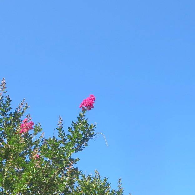 Photos: 中空に輝く百日紅(今朝の一枚自宅の花)
