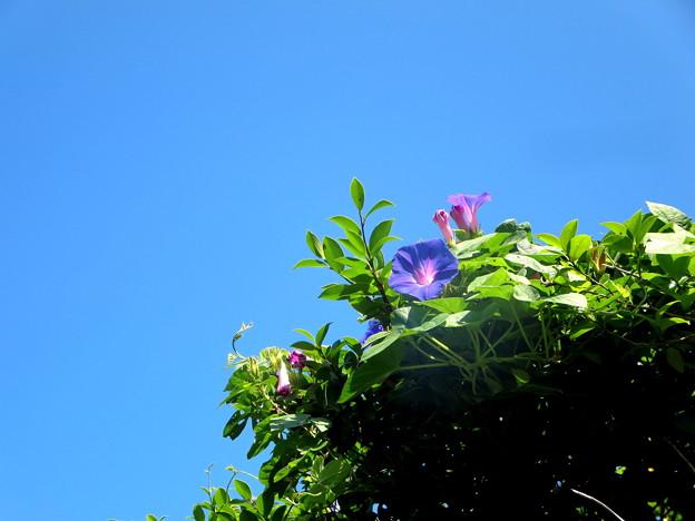 Photos: やはり浮かぶのは♪私の青空♪(今朝の一枚自宅の花)