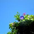 やはり浮かぶのは♪私の青空♪(今朝の一枚自宅の花)