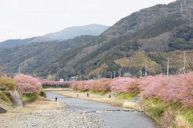 河津桜180307-01
