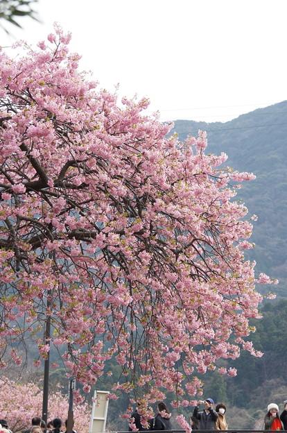 河津桜180307-03