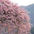 写真: 河津桜180307-03