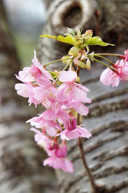 河津桜180307-04