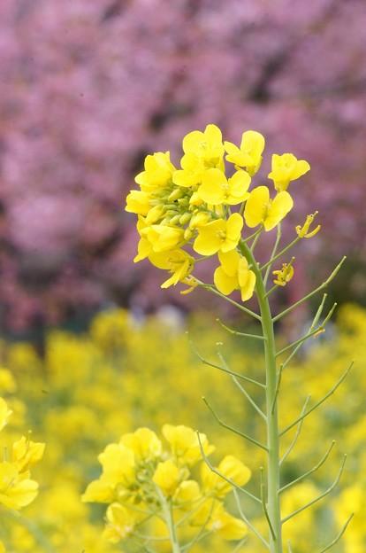 河津桜180307-05