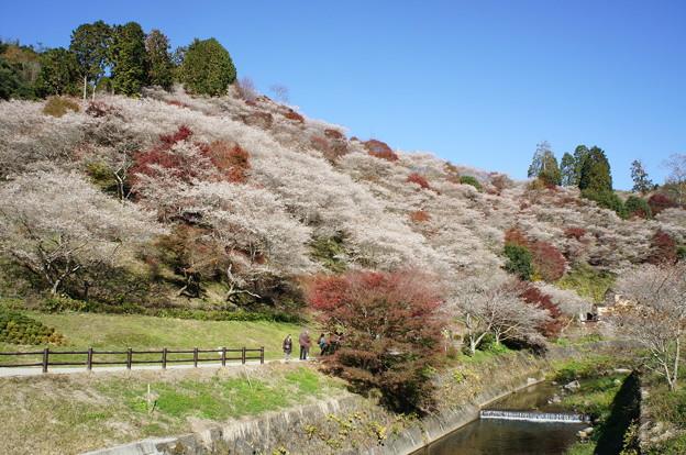 小原の四季桜181125-01