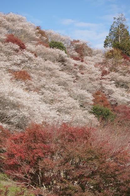 小原の四季桜181125-02