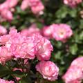 蜂ヶ峯総合公園のバラ 71