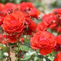 蜂ヶ峯総合公園のバラ 72