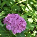 紫陽花 38