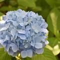 紫陽花 36