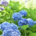 紫陽花 35