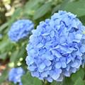 紫陽花 31