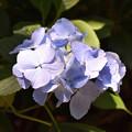 紫陽花 29