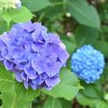 紫陽花 23