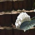 紫陽花 22