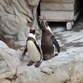 フンボルトペンギン 2