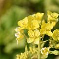 菜の花 2