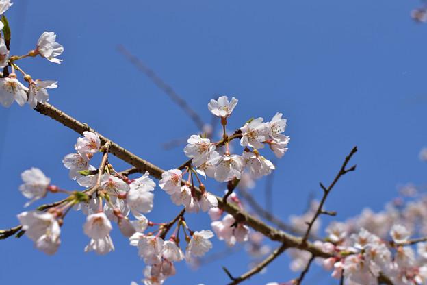 南明寺の糸桜 1