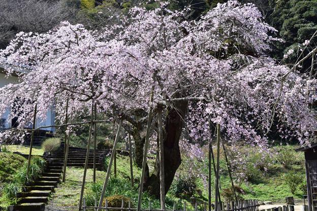 南明寺の糸桜 2