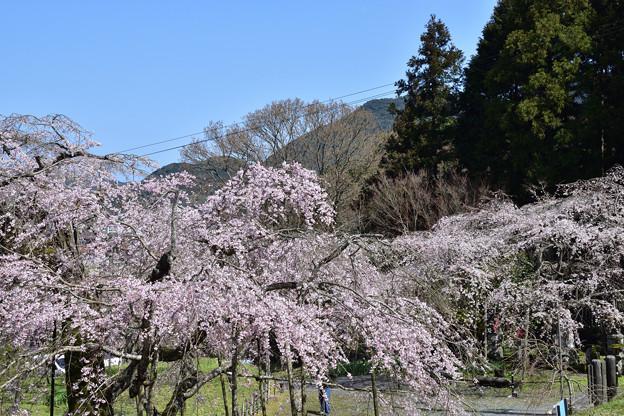 南明寺の糸桜 3