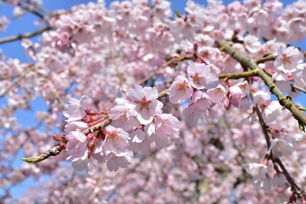 南明寺の糸桜 4