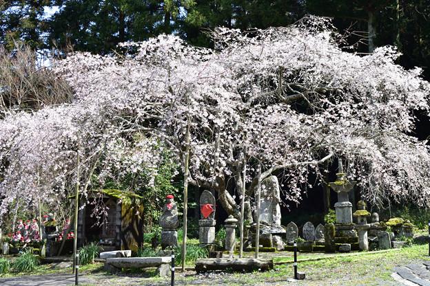 南明寺の糸桜 5