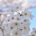 写真: 桜 4