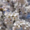 写真: 桜 5