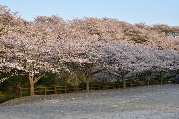 竜王山公園の桜 8