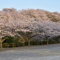 Photos: 竜王山公園の桜 8