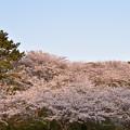 竜王山公園の桜 9