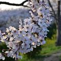 竜王山公園の桜 10