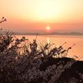 桜と夕日 1