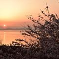 Photos: 桜と夕日 2