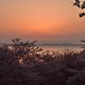 桜と夕日 3