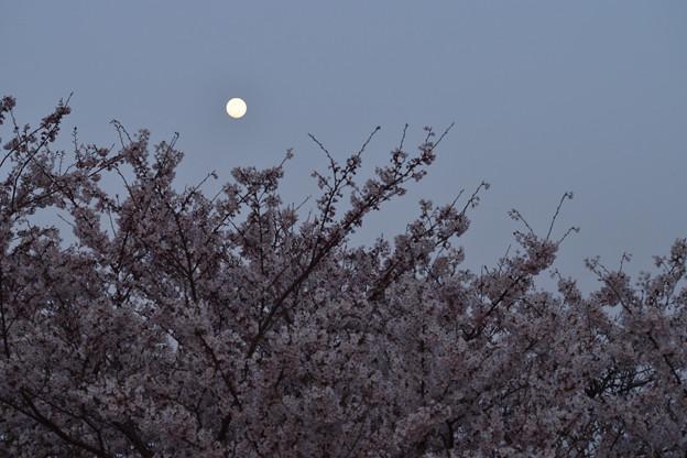 桜と月 2