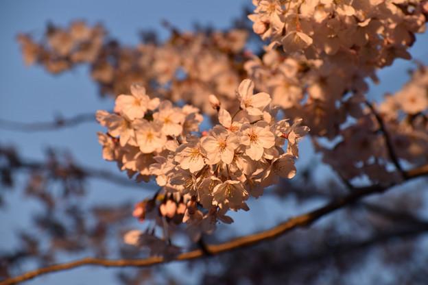 竜王山公園の桜 12
