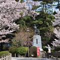 吉田松陰誕生地の桜
