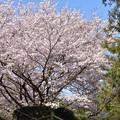 萩反射炉の桜 2