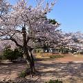 写真: 笠山の桜 1