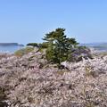 写真: 笠山の桜 2