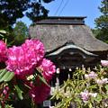 写真: 宇佐八幡宮とシャクナゲ