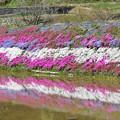 写真: 大道理の芝桜 2